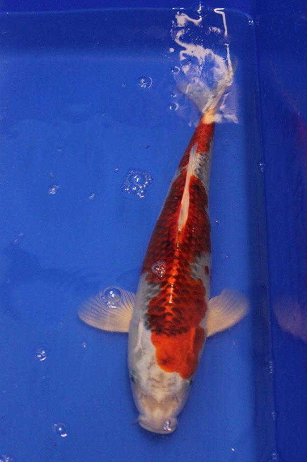 Red Kujaku – 39cm Koi Karpfen im MICA-Koi.de Shop kaufen