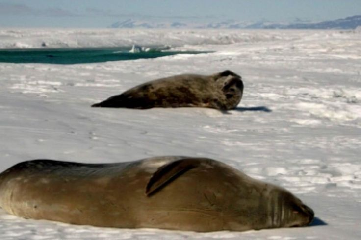 """Seal poo may hold clue to climate change - NEWS ITEM. Nelson scientist Jonathan Banks is hoping to find out more about what Antarctic seals eat by searching through their faeces.  The dietary information will help to determine what effect climate change and commercial fishing is having on some of Antarctica's top predators.    Dr Banks is back in the lab now after spending three weeks pooper-scooping seal poo off the ice in Antarctica.  """"It's just go out there with a big shovel and shovel…"""