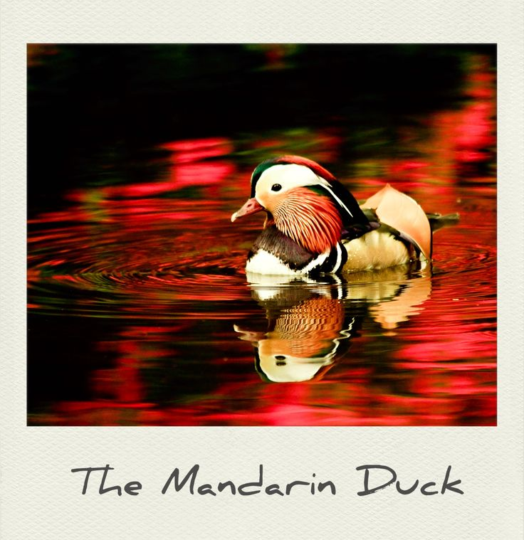 The #MandarinDuck is a #beautiful perching #duck species found in East #Asia. #PolaroidFx #Polaroid #Animal #Ave #Wild #Lake #Forest #Nature #Plumage