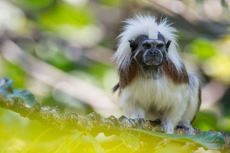 fernandezroldanjd posted a photo:  The Cotton-headed tamarin monkey is one of the most endangered species of Colombia. Forest clearing and illegal wildlife traffic are the main causes for its population declines. This photograph was taken at Zoológico de Cali, where I had already shot a series of pictures of this individual's mother in 2016. It is nice to see conservation programs in action almost in real time.