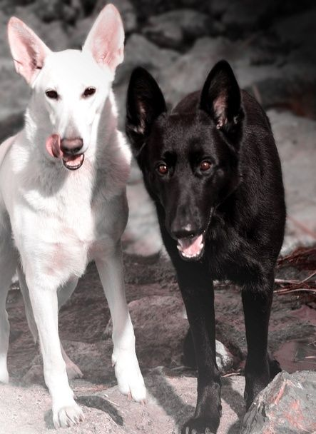White & Black German Shepherds, Aphrodite & Lasiyan