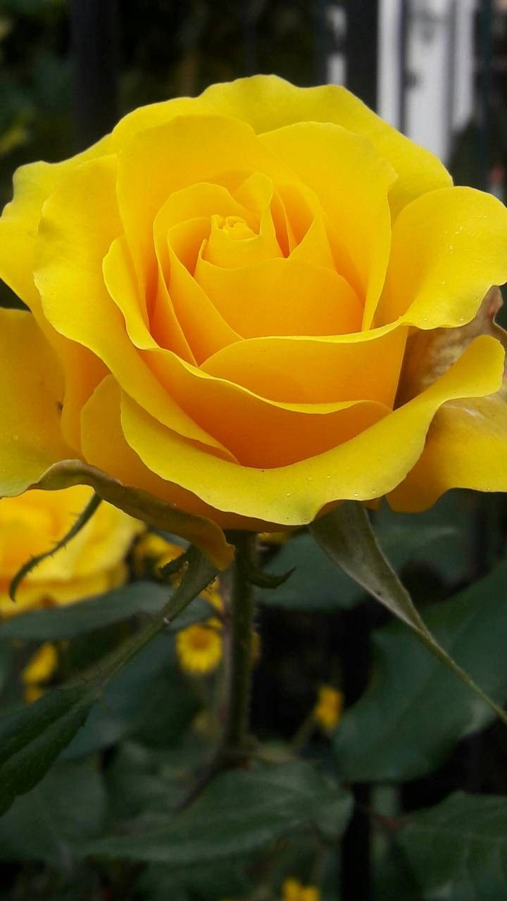 "Lightly-scented, ""Bright Eyes"" Yellow Rose - EHH"