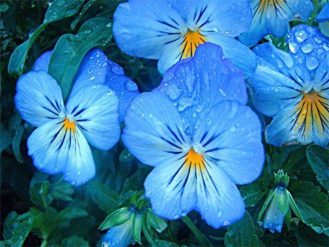 фото цветы анютины глазки: 17 тыс изображений найдено в Яндекс.Картинках