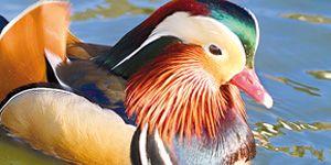 Ferme de Beaumont, l'élevage des canards d'ornement