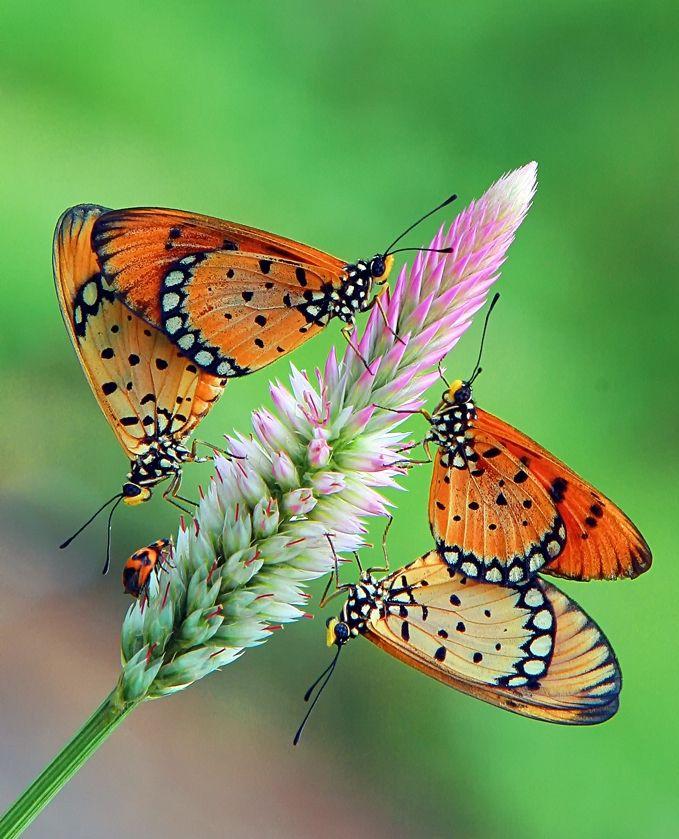 ~butterflies~: Beautiful Butterflies,  Danaus Plexippus, Milkw Butterflies, Anif Putramijaya, Butterflies Photography, Monarch Butterflies, Macros Photography, Butterflies Moth Dragonfly,  Monarch Butterfly