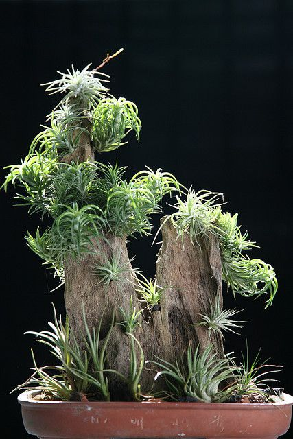 Tilandsia | Flickr - Photo Sharing. Go to the site for more incredible photos of tilandsias.