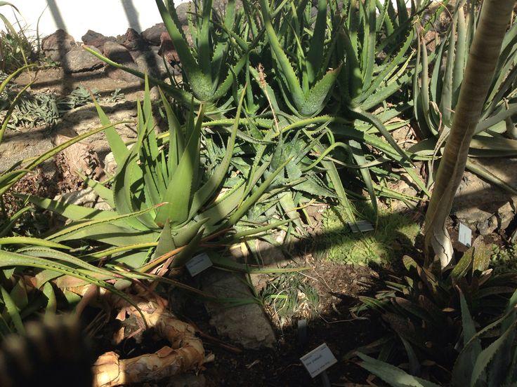 Flere Aloe vera