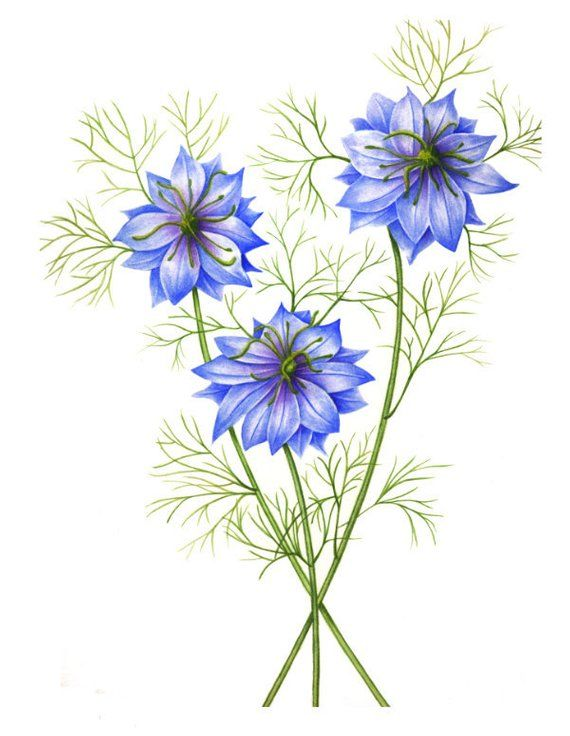 Nigella Or Love In A Mist Watercolor Painting Etsy Watercolor Painting Etsy Flower Drawing Original Watercolor Painting