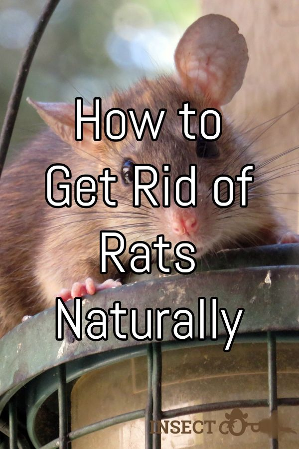 How To Get Rid Of Rats Naturally Getting Rid Of Rats Rats Rat
