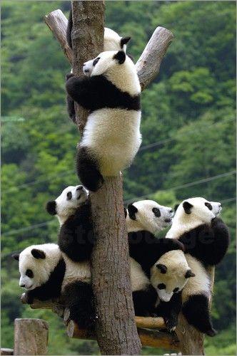 Premium-Poster Wilde Schar von Pandababys auf dem Kletterbaum