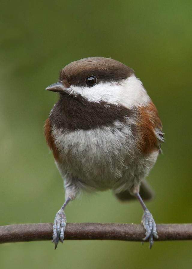 307 best bird song tits chickadees titmice images on. Black Bedroom Furniture Sets. Home Design Ideas