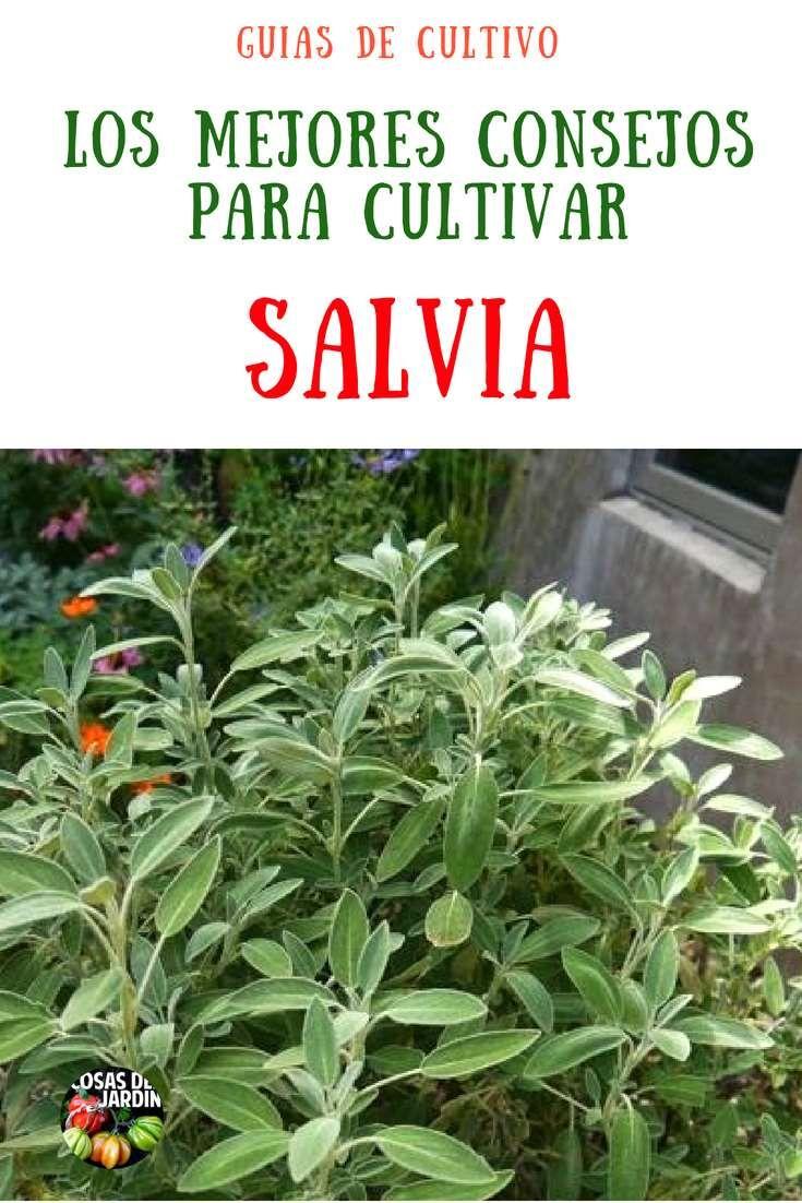 Guia De Cultivo De Salvia Cuidados Reproducción Poda Maceta Interior Cosas Del Jardin Plantas Medicinales Hierbas Jardineria Y Plantas Cultivo De Plantas