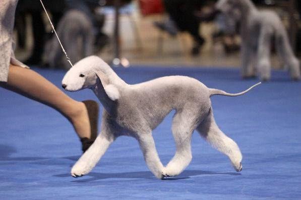 blue bedlington terrier