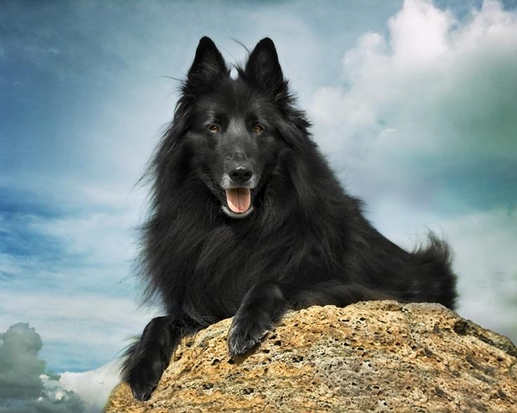 Chien de Berger Belge  (Belgian Shepherd Dog) Groenendael