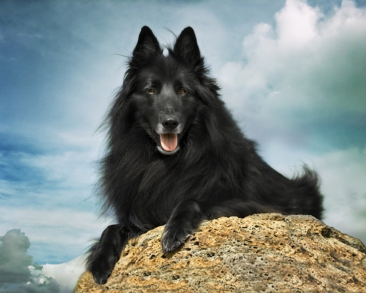 #BelgianSheepdog #Groenendael on top of a rock