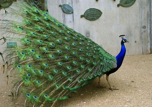 The Amazing Peacock (Facts and Photos)