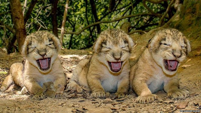 RT @WildlifeDay: Tomorrow is #WorldWildlifeDay! #BigCats are facing many threats, but there is also good news. The population of Asiatic #lions, found only in India,  has increased by 27% since 2010. Don't the Asiatic #lion cubs look happy? Let them live, let them roar! #WWD2018 #iProtectBigCats