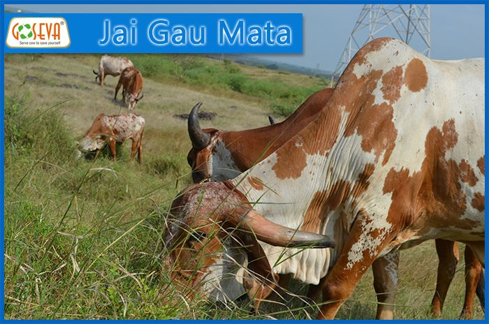 panchgavya from natural grazing and Mother Cow from Gir Region Gujarat