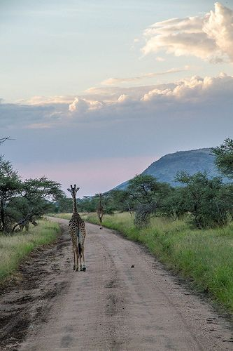 Take a drive from South Africa to the Serengeti. These guys did it - get their top travel tips here: http://article.myedit.me/articles/shared/88097 Find more great travel articles from @go! Travel South Africa on the MyEdit app. Download it free from iTunes, Play or Windows Phone stores.
