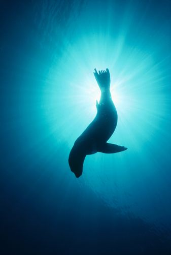California Sea Lion (Zalophus californianus) underwater, Channel Islands National Park, California www.flowcheck.es Taller de equipos de buceo #buceo #scuba #dive