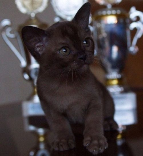 quaggly: markv5: Котенок породы бурма. Красавец