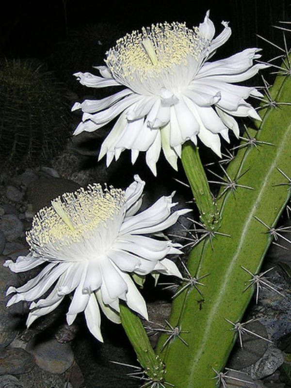 Acanthocereus tetragonus (Barbed-Wire Cactus, Sword Pear, Triangle Cactus) → Plant characteristics and more photos at: http://www.worldofsucculents.com/?p=2190