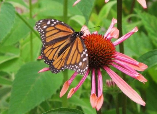 7 What Does Monarch Butterfly Eat