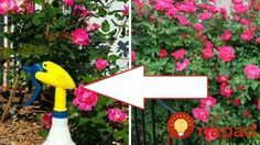 Ruže každý rok striekam týmto domácim sprejom a sú krásne, zdravé a celú sezónu kvitnú ako divé!