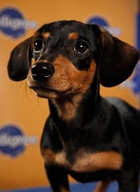 This little beauty Shotzie is with Furever Dachshund Rescue and will be in the Puppy Bowl along with alot of shelter puppies! gotta watch
