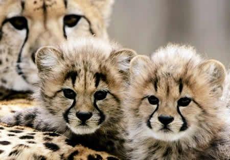 The markings on cheetahs are so artistic...