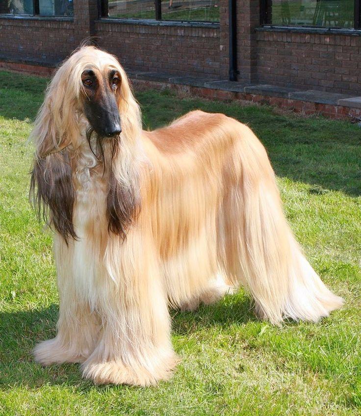 Afghan Hound | Galgo afgano o lebrel afgano | Razas de Perros y Gatos
