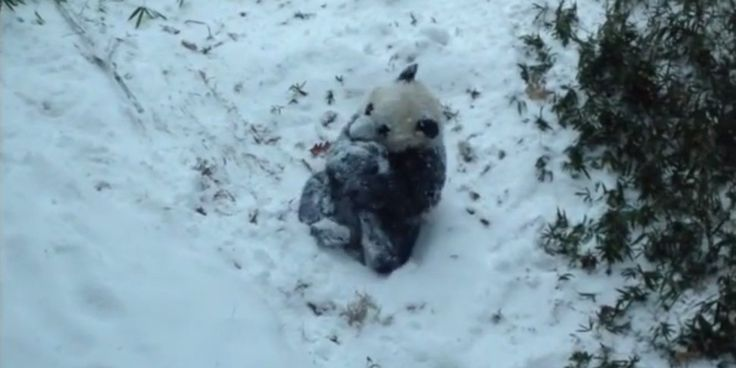 The Best Way to Visit the Smithsonian and National Zoo in DC. Photo; http://www.huffingtonpost.com/2015/01/06/bao-bao-panda-snow_n_6424644.html