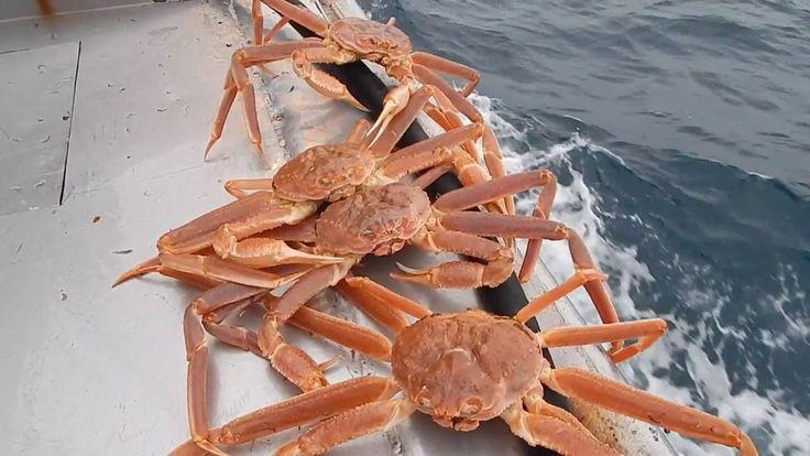 Краб стригун опилио. Как он выглядит ) Snow crab opilio crab. What does ...