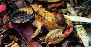 Resultado de imagen para rana darwin