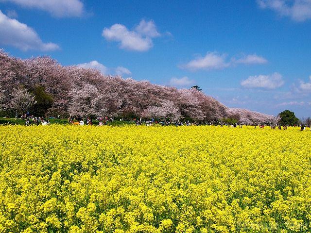 桜と菜の花と青空と (Cherry blossoms and Rape seeds under Blue sky) #Japan #Spring #Park