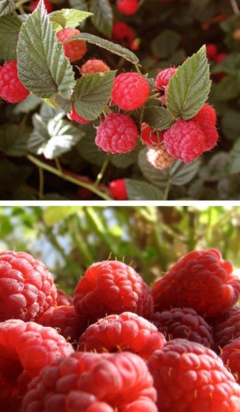 Plant a Raspberry bush. Looks and sounds pretty easy to do!