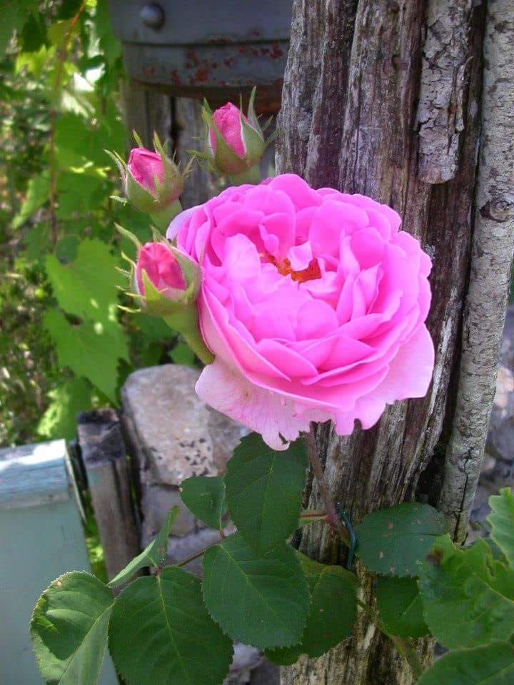 Https Www Facebook Com Flowers 143myinspiration Photos A 741695622650503 1073741830 739274416225957 11170606751 Ordering Roses Propagating Roses Rose Nursery