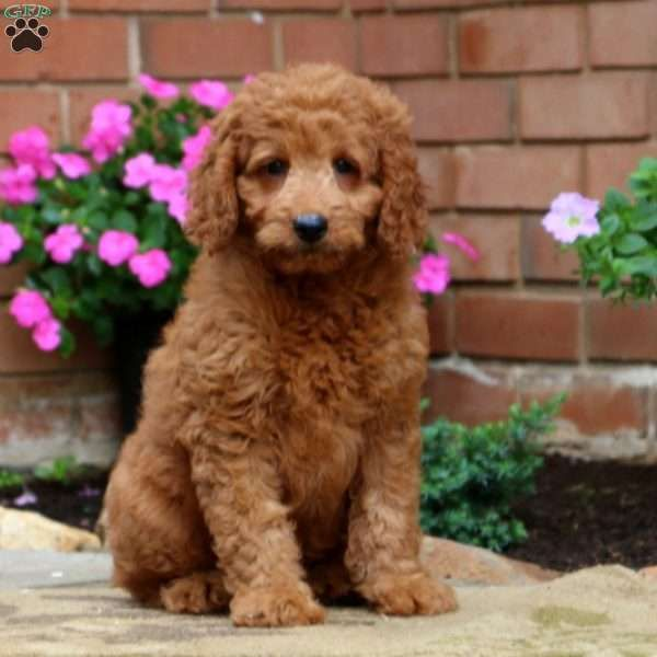 Austin Mini Goldendoodle Puppy For Sale In Pennsylvania Mini Goldendoodle Puppies Goldendoodle Puppy Goldendoodle Puppy For Sale