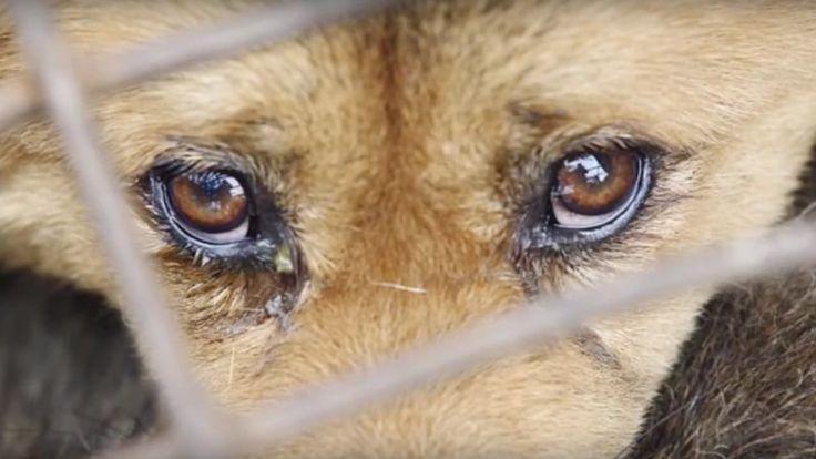 Você sabia que todos os anos, no final do verão,  milhares de cachorros são capturados e comidos em Yulin, na China, como parte da programação do Festival de Carne de Cachorro de Yulin?  Achamos que este festival cruel não cabe no século 21. São muitos os motivos para pôr fim a este evento – atenção,...
