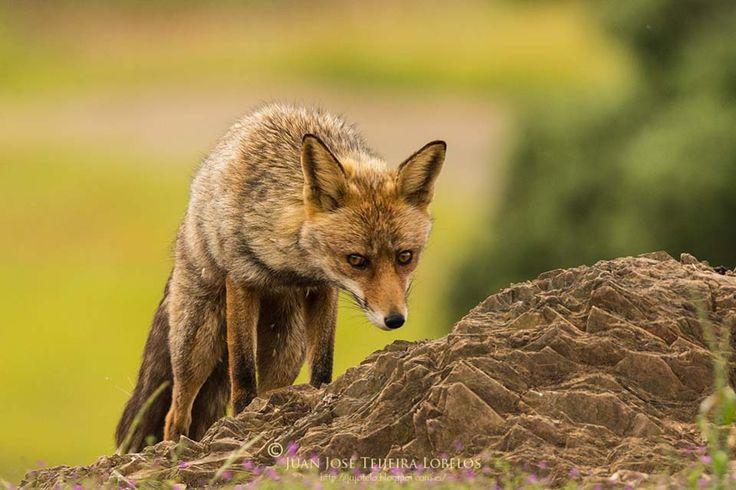 Red Fox by Juan José Teijeira Lobelos