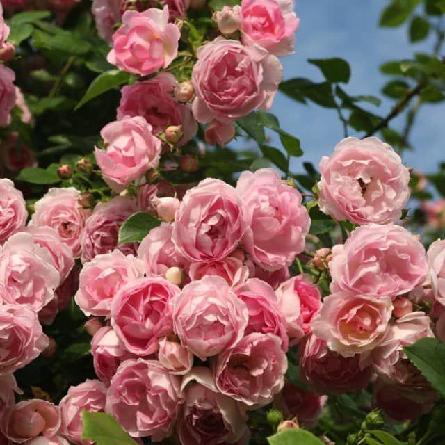 abbild und caaabbccfbdb kordes rosen climbing roses