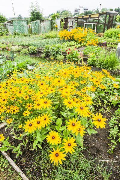 Companions For Jerusalem Artichokes – What To Plant With Jerusalem Artichoke