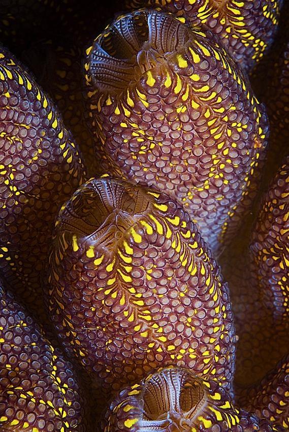 Magnificent Ascidian (sea squirt), Rowland Cain
