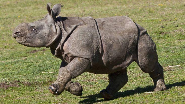 El rinoceronte negro en África Occidental –Diceros bicornis longipes, está oficialmente extinto.