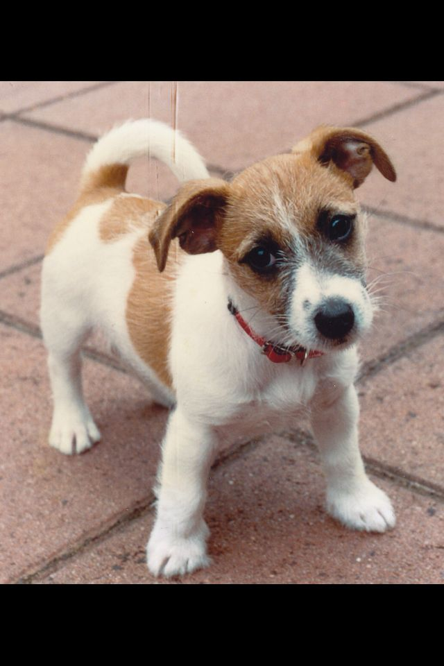 Oh how cute, JRT Love Puppy!
