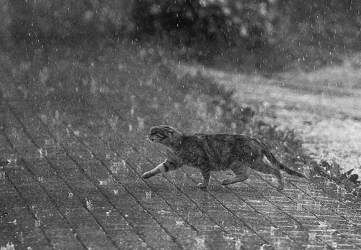 Фото: ©Maxim Yuldashev  Камера #Canon EOS 20D Фокусное расстояние 170 mm Скорость затвора 1/640 s Апертура f/2.8 ISO 400 #фотоидеи  #дождь #коты #целеустремленность