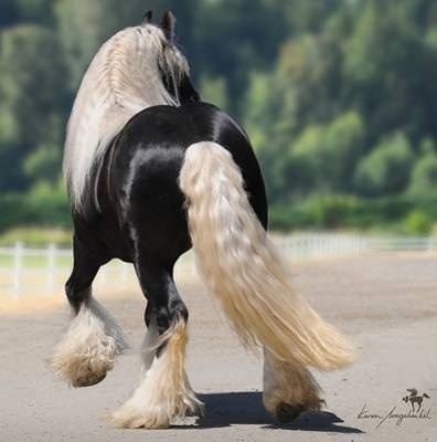 Here is an amazing horse color I didn't know existed: the black silver dapple in gypsy vanner horses.  This beauty is named Silver Fox and the root link takes you to his farm's website