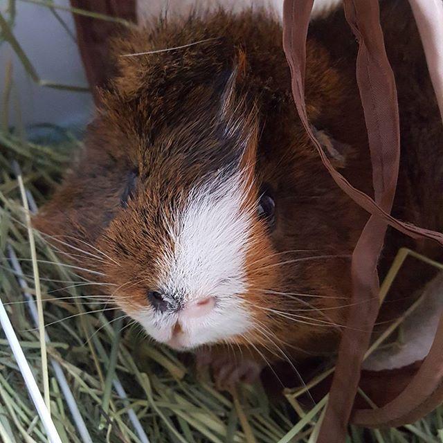 Hello Jensen 🐹 #guineapigs #piggies  #cute