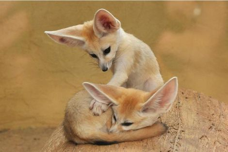One of our favorite books was a book about wild puppies that I bought on a book store clearance table.  We loved all the wild puppies, including the Fennec foxes.