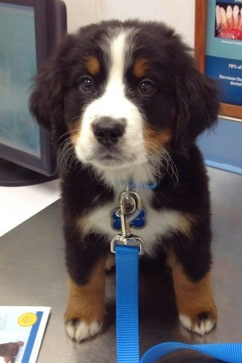 Burnise Dogs Pinterest Dog Animal And Mountain Dogs